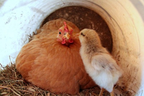 mother-hen-and-chick